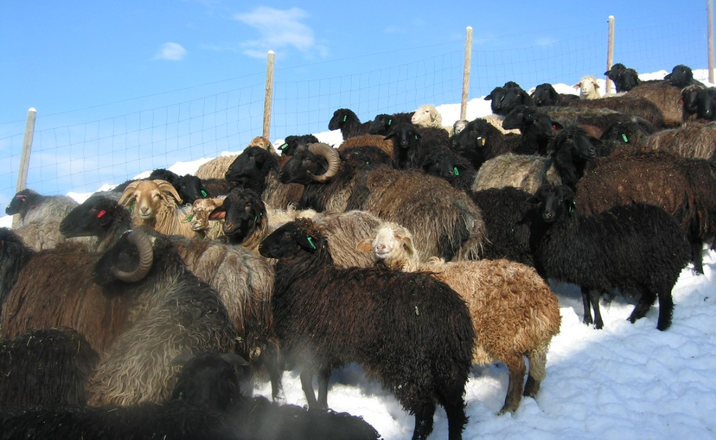 Karakul  Shepherds  Alliance