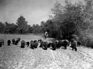 Bill Davis shepherding