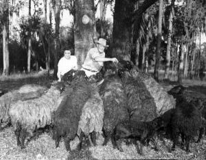 Davis' feeding Karakul sheep