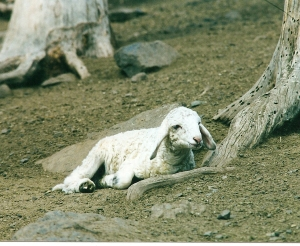 DeVlieg 02 200s ram lamb w very long ears