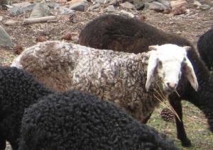 DeVlieg 14 ram lamb w very long ears