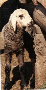 DeVlieg 92 ram lamb w long ears