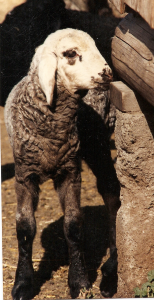 DeVlieg 92 ram lamb w long ears