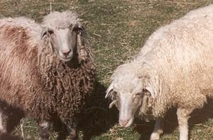 DeVlieg 94 Pearl & Shimmer w short ears (Cheryl's lambs)
