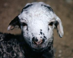 DeVlieg 95 lamb w short ears