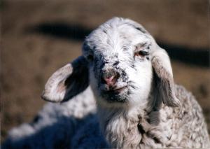 DeVlieg 95 ram lamb w very long ears