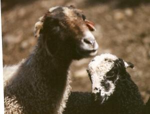 DeVlieg 96 ewe and lamb w elf ears