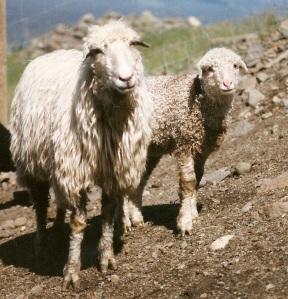 DeVlieg 96 ewe and lamb w short ears