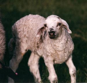 DeVlieg 98 lamb w long ears