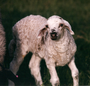DeVlieg 98 lamb w long ears