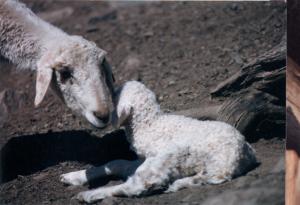 DeVlieg Mar 95 ewe w medium ears