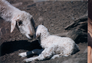 DeVlieg Mar 95 ewe w medium ears