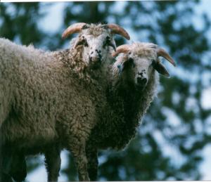 DeVlieg ram lamb w short ears