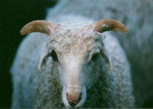 DeVlieg Snow Boy ram lamb w short ears