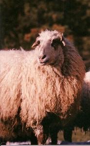 DeVlieg White Karakul Ewe w short ears