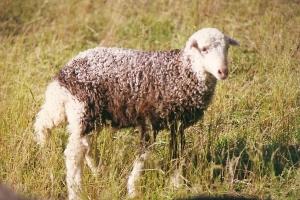 DeVlieg 96 lamb w elf ears & large fat tail