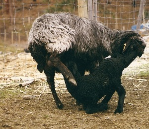 Karakul ewe with lamb, the ultimate mother